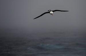 A-Black-Browed-Albatross