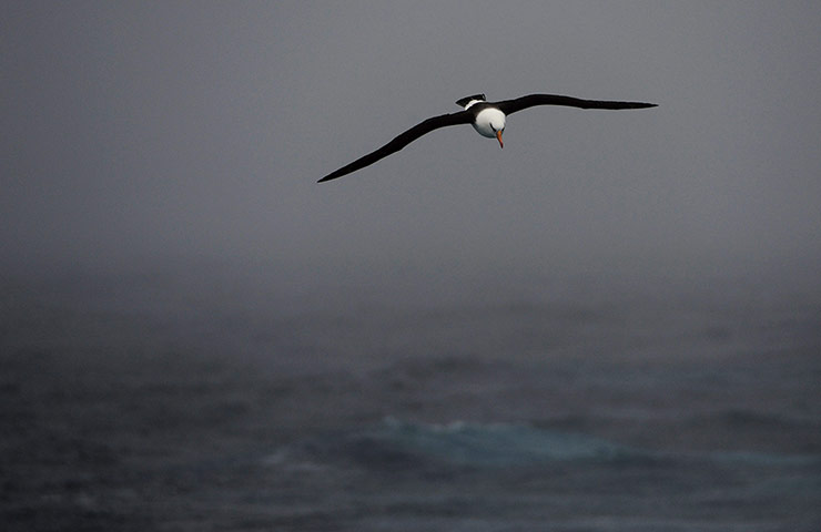 A-Black-Browed-Albatross