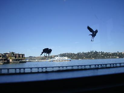 Californian crows www.ShopCurious.com