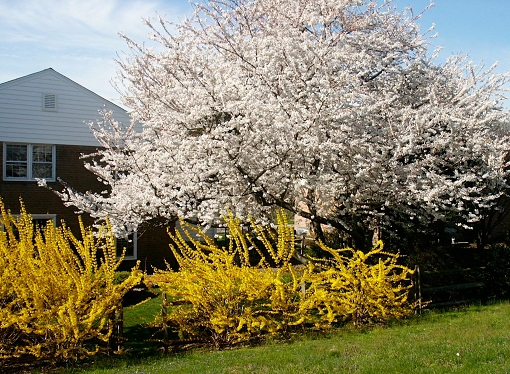 Cherry and Forsythia in my garden