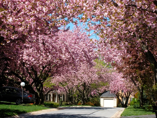Cherry trees on my street