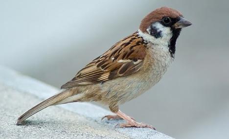 tree-sparrow-perch-bird-feathers-beak-wings-tail-outdoors-wildlife-asia-japan-photo