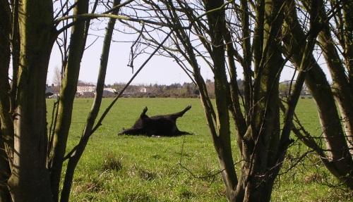 dead-cow