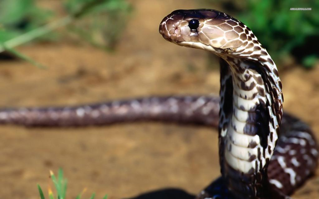 indian-cobra-269-1680x1050 (1)