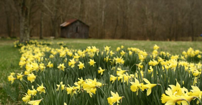 Barn_daffodils