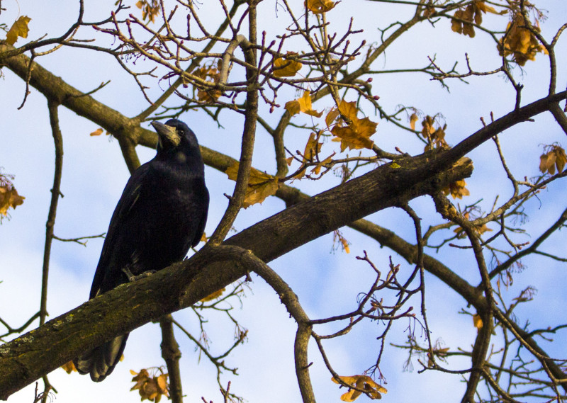 Crow_on_a_branch