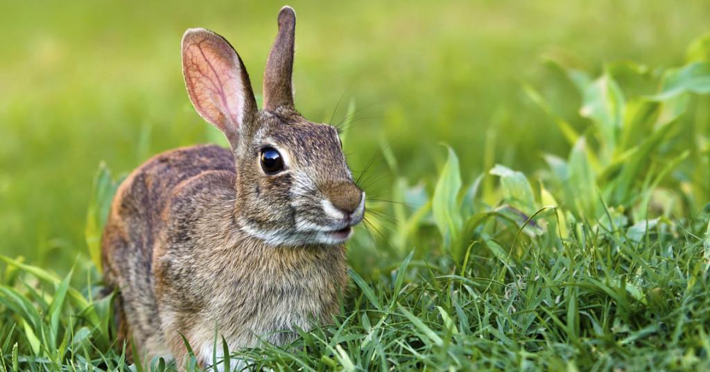 rabbit starvation