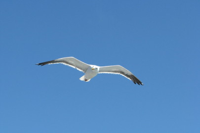 1280px-Flying_Seagull_(2704154711)