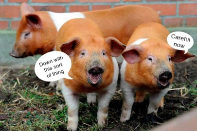 Danish-Protest-Pigs
